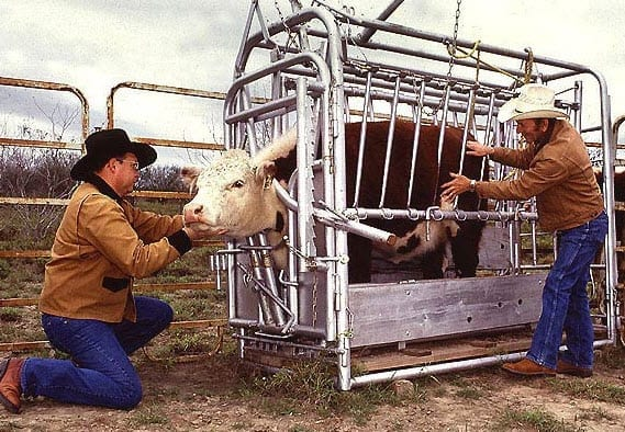 Cattle being examined
