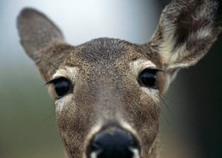 Auto Insurance claims on the rise with deer collisions