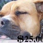 Pit Bull Liability Insurance
