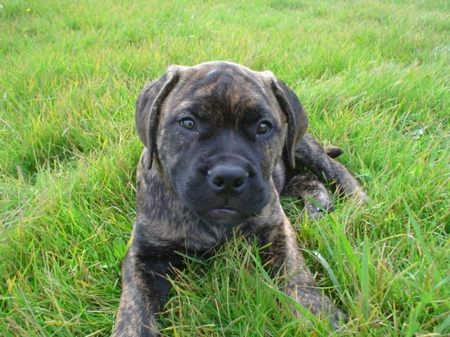Bullmastiff puppy - pet insurance claim