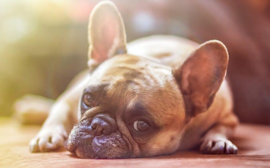 Wells Fargo Pet Insurance - dog - Bulldog