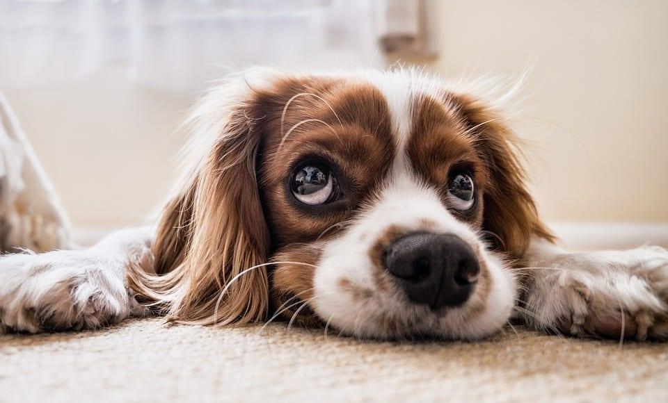 Dog insurance premiums - Dog - cute dog -sad dog