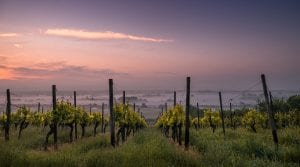 California wine country flooding - Vineyard at Sunset