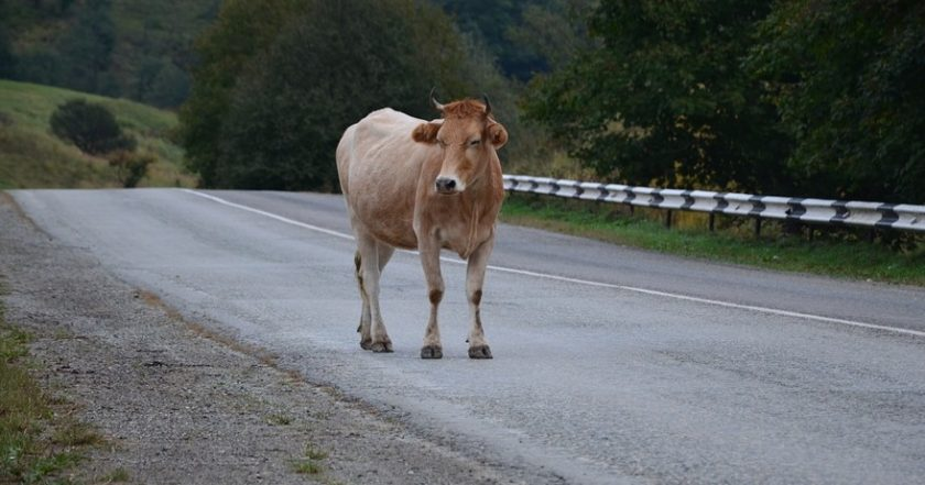 Auto insurance claims - Cow on Road