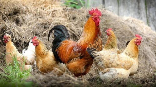 Hobby Farm Insurance - Chickens and Rooster