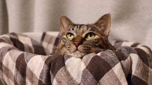 Nationwide pet insurance - brown tabby cat