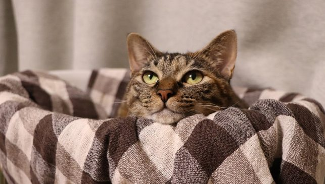 Nationwide pet insurance - brown tabby cat