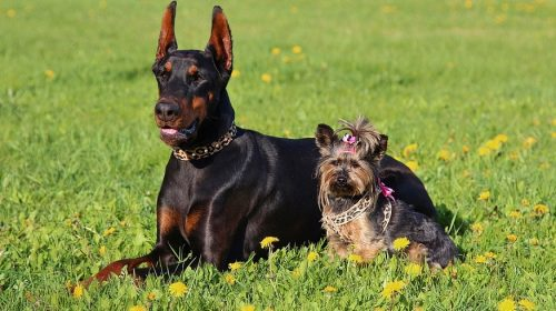 Home-insurance-coverage - Doberman and a Yorkshire Terrier